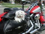 Biker-Hund