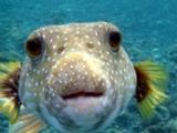 Knutscherfisch