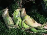 Chillende Leguane