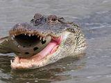 Krokodil frisst Crocs