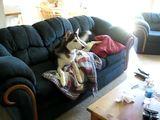 Husky schaut fern