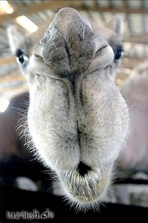 Kamel-Kuss