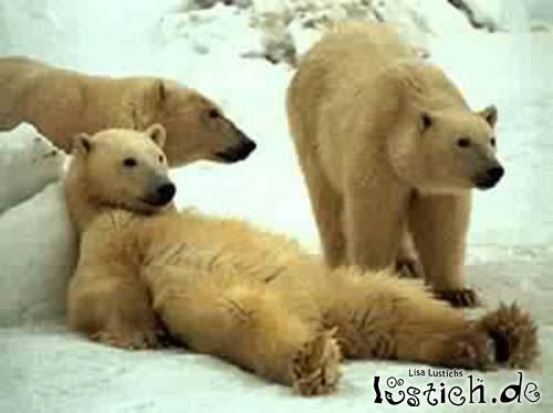 Fauler Bär