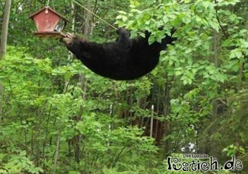 Akrobatischer Bär