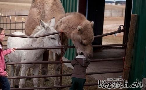 Kamel frisst Kind
