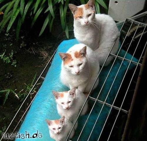Orgelpfeifen-Katzen