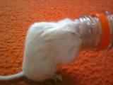 Maus in Flasche stecken geblieben