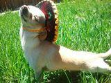 Hund mit Sombrero