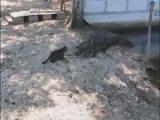 Katze und Alligator