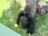 Gorilla mit Kamera