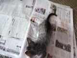 Kätzchen gegen Zeitung